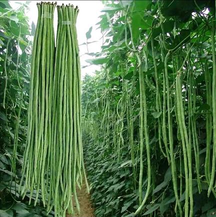 夏秋豆角(豇豆)品种
